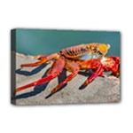 Colored Crab, Galapagos Island, Ecuador Deluxe Canvas 18  x 12  (Stretched)
