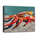 Colored Crab, Galapagos Island, Ecuador Deluxe Canvas 20  x 16  (Stretched)