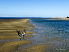 hervey bay pelicans