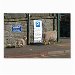 sheep1 Postcard 4 x 6  (Pkg of 10)